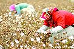 当心了!巴基斯坦棉花生产要玩大跃进