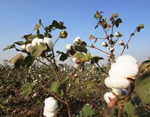 我国最大高品质棉花订单生产销售合同在郑签订,都有哪四方参与?