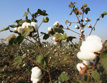 市场缺乏信心 新棉集中上市 棉价后期仍有回落空间