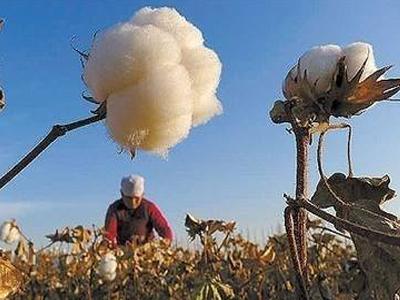 2019年全国植棉意向面积同比下降3.58%