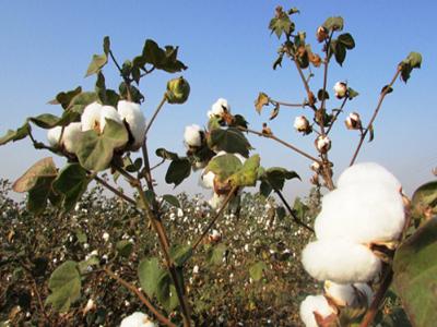 80万吨棉花进口滑准税配额先于国储棉轮出政策落地,市场走向你看清了吗?