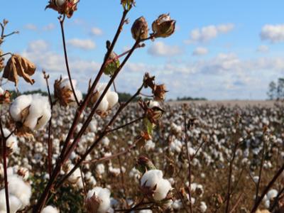 棉花期货暴跌背后:全球产量大幅上调 下游棉纱需求趋缓