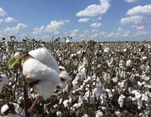 8月19日储备棉成交1.1万吨 成交率95.73%